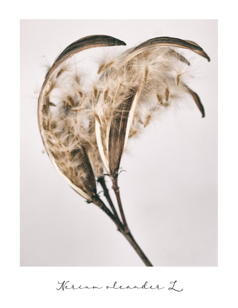 Postcard from Winter - February Edition  Nerium oleander L.  L'oleandro è una delle piante più tossiche che si conoscano. La storia racconta che diversi soldati delle truppe napoleoniche morirono per avvelenamento dopo aver usato rami di oleandro come spiedi nella cottura della carne alla brace, durante le campagne militari in Italia. (Wikipedia)